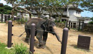 歩き回る象