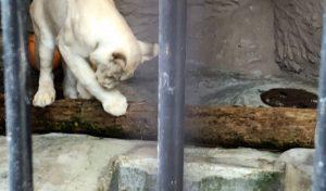 顔を洗うホワイトライオン