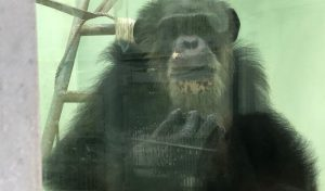 こっちを見るチンパンジー